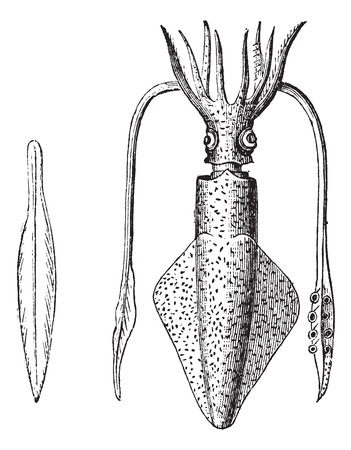 known: European Squid also known as  Loligo vulgaris, Squid, vintage engraved illustration of European Squid, isolated against a white background. Illustration