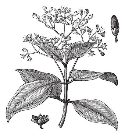 Cinnamomum verum, ceylon kaneel, Sri Lanka kaneel of True kaneel vintage graveren. Oude gegraveerde illustratie van Cinnamon stengel met bloemen en bud.