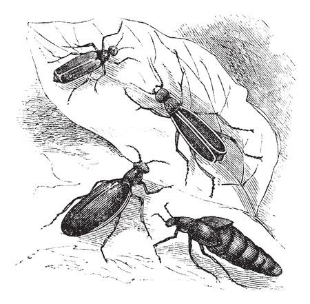 cantharis: Cantharis or lytta  vesticatoria, Spanish fly or blister beetle vintage engraving. Old engraved illustration of Cantharis vesticatoria with leaf. Illustration
