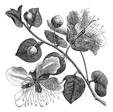 plants species: Cappero comune o Capparis spinosa incisione vintage. Old illustrazione incisa di pianta del cappero e fiori.
