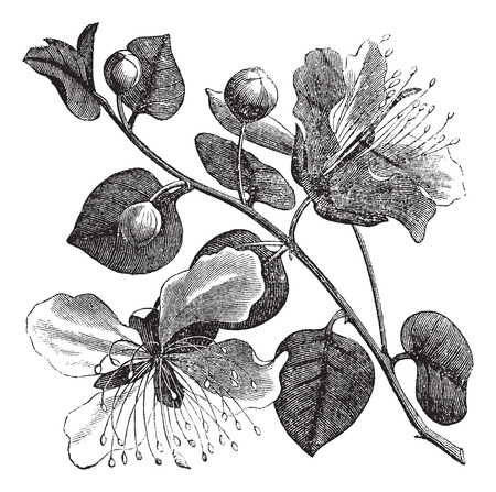 in common: Common caper or Capparis spinosa vintage engraving. Old engraved illustration of caper plant and flower.