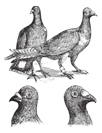 carriers: Belgian carriers- Liege or Antwerp or horning pigeon vintage engraving. Old engraved illustration of Belgian pigeons.
