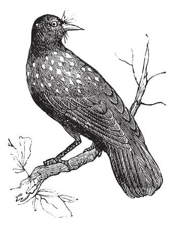 eurasian: Nutcracker Nucifraga caryocatactes or Eurasian Nutcracker or Spotted Nutcracker vintage engraving. Old engraved illustration of Nucifraga caryocatactes perched on branch.