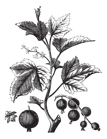 Ribes berry or blackcurrant or vintage engraving, Old engraved illustration of Ripes berry.