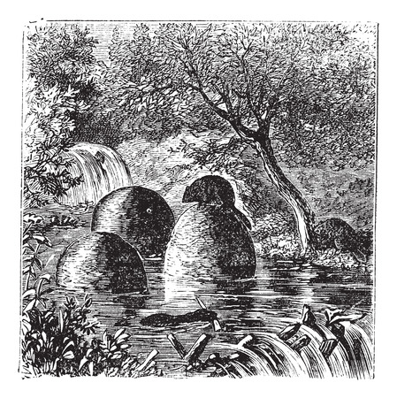 beavers: Lodges and dams built by beavers vintage engraving. Old engraved illustration of beavers house and dam.