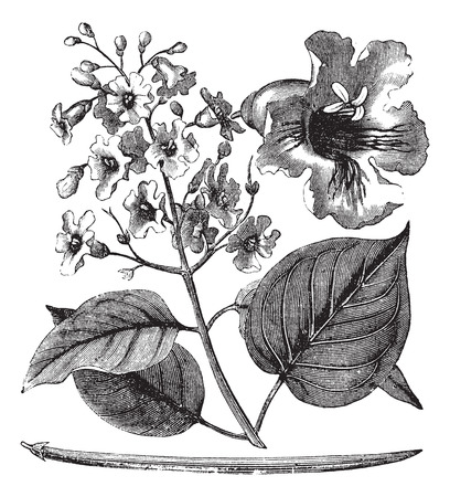 Catalpa bignonioides or cigar tree vintage engraving. Old engraved illustration of blossoms of catalpa tree.