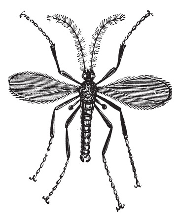 infect: Hessian fly, Barley midge, Mayetiola destructor or Cecidomyia destructor vintage engraving. Old engraved illustration of a Hessian Fly isolated against a white background. Illustration