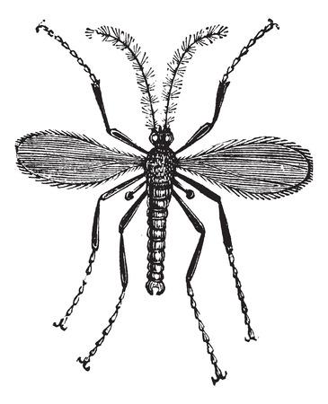 hessian: Hessian fly, Barley midge, Mayetiola destructor or Cecidomyia destructor vintage engraving. Old engraved illustration of a Hessian Fly isolated against a white background. Illustration