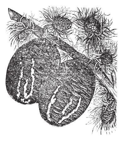 Cedar branch with a cedar cone vintage engraving. Old engraved illustration of cedar branch with cedar cones on them.