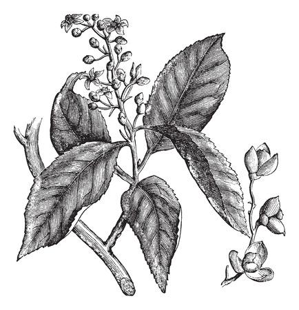 twining: Celastrus scandens or American bittersweet or stafftree vintage engraving. Old engraved illustration of celastrus scandens.