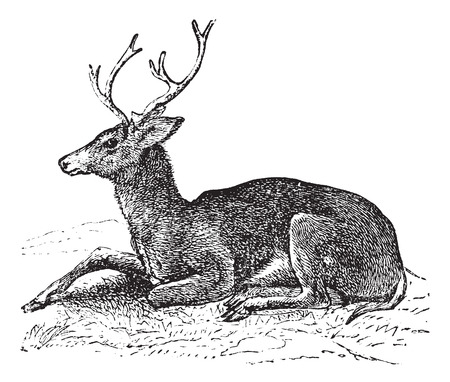 cervidae: Mule deer or Odocoileus hemionus vintage engraving. Old engraved illustration of mule deer.