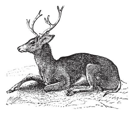 Mule deer or Odocoileus hemionus vintage engraving. Old engraved illustration of mule deer.