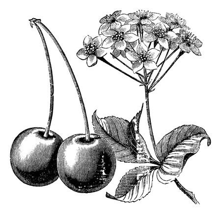 Cereza con hojas y flores grabado de la vendimia. Antiguo grabado ilustración de dos cerezas con hojas y flores.