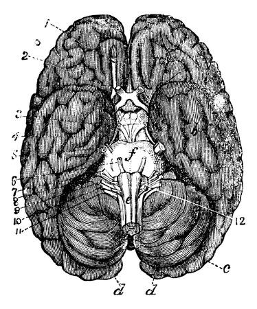 cerebra: Human brain vintage engraving. Old engraved illustration of human brain parts numbered. Illustration