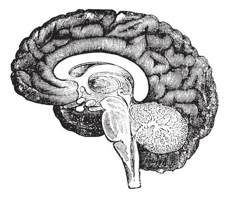 Sección vertical del perfil de un grabado cerebro humano vintage, que muestra el bulbo raquídeo, la protuberancia, cerebelo poción mediana con el árbol de la vida, la parte central del cerebro y las circunvoluciones de la superficie interna del hemisferio. Foto de archivo - 37717069