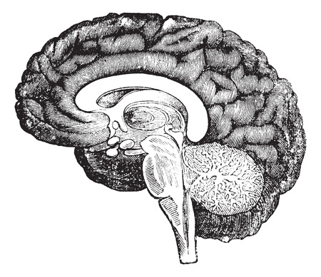 median: Vertical section of the profile of a human brain vintage engraving, showing the medulla oblongata, pons, cerebellum potion median with the tree of life, the central parts of the brain and the convolutions of the inner surface of the hemisphere.