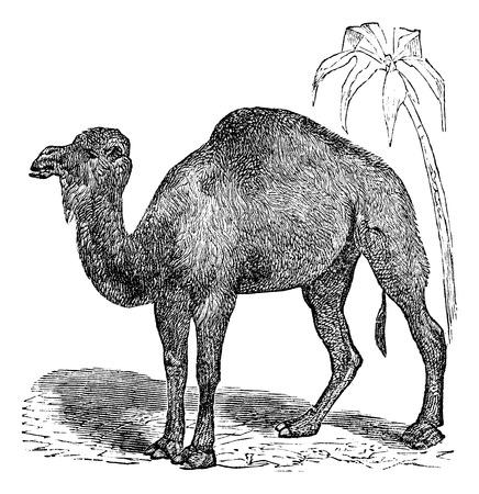 Dromedary, Arabian camel or  Camelus dromedarius vintage engraving. Old engraved illustration of dromedary near palm tree on desert.