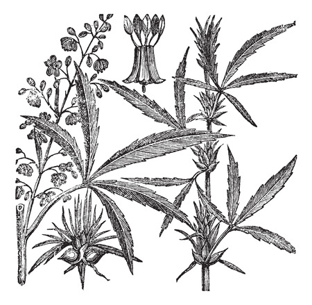 cannabis sativa: Hemp, Cannabis sativa, Cannabis indica, Cannabis ruderalis, or Chanvre vintage engraving. Old engraved illustration of a Hemp. Male plant (left). Female plant (right). Illustration