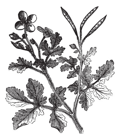 Greater Celandine or Tetterwort or Bloodroot or Chelidonium majus, vintage engraving. Old engraved illustration of a Tetterwort plant showing flowers and seed pod.