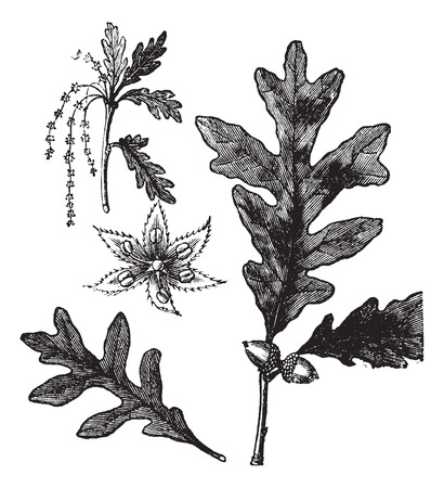 oak barrel: White Oak or Quercus alba, vintage engraving. Old engraved illustration of White Oak showing flowers (left), leaves and acorns (right).