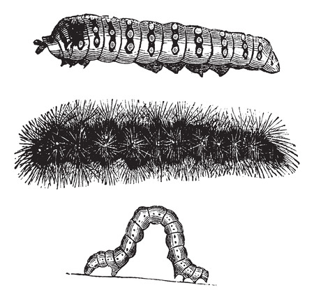 Caterpillar, vintage engraving. Old engraved illustration of the caterpillars of the Indian Moon moth (top), Brush-footed butterfly (center), and Geometer moth (bottom).