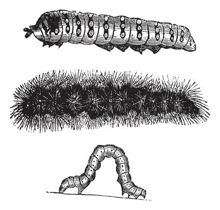 Caterpillar, Vintage-Gravur. Alt eingraviert Darstellung der Raupen des indischen Mond Motte (oben), Pinsel-footed Schmetterling (Mitte) und Spanner (unten).