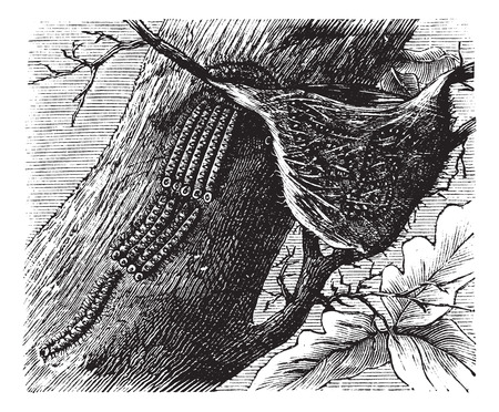 larval: Processionary Caterpillar or Thaumetopoeidae, vintage engraving. Old engraved illustration of Processionary Caterpillars.