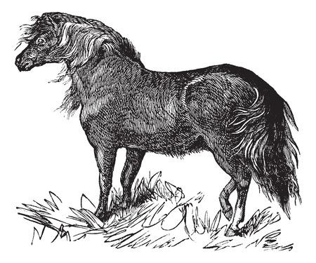 Shetland Pony or Equus ferus caballus, vintage engraving. Old engraved illustration of a Shetland Pony. Vectores