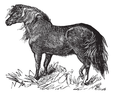 shetland pony: Shetland Pony or Equus ferus caballus, vintage engraving. Old engraved illustration of a Shetland Pony. Illustration