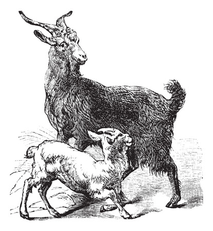 Domestic Goat or Capra aegagrus hircus, vintage engraving. Old engraved illustration of Domestic Goat showing the adult female goat or doe (top) and young goat or kid (bottom).