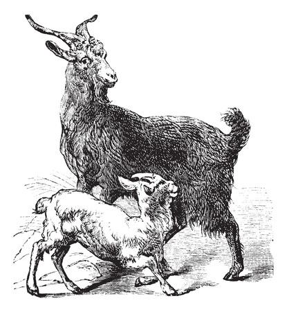 cabras: Cabra o Capra hircus aegagrus doméstica, el grabado de época. Ilustración del Antiguo grabado de Cabra doméstica mostrando el adulto cabra o ciervo (arriba) y la cabra joven o niño (parte inferior).
