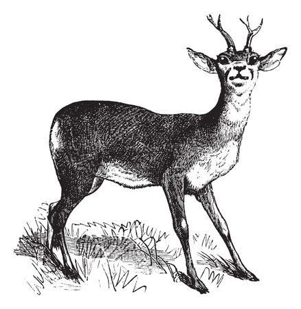 Roe Deer or Chevreuil or Capreolus capreolus, vintage engraving. Old engraved illustration of a Roe Deer. Ilustração