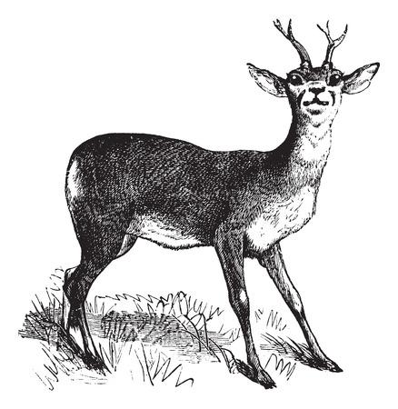 Roe Deer or Chevreuil or Capreolus capreolus, vintage engraving. Old engraved illustration of a Roe Deer. Illustration