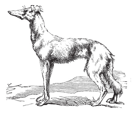 familiaris: Persian Greyhound or Royal Dog of Egypt or Saluki or Canis lupus familiaris, vintage engraving. Old engraved illustration of a Persian Greyhound.