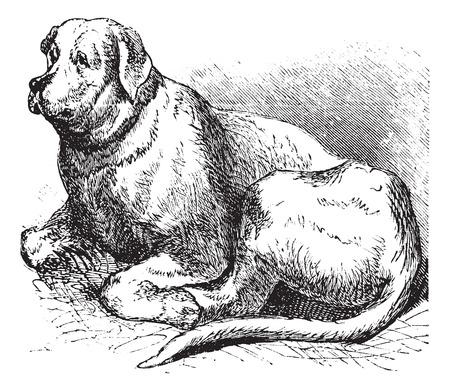 Saint Bernard or Canis lupus familiaris, vintage engraving. Old engraved illustration of a Saint Bernard. Illusztráció