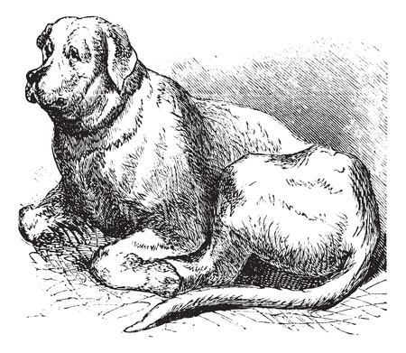 Saint Bernard or Canis lupus familiaris, vintage engraving. Old engraved illustration of a Saint Bernard. Stock Illustratie