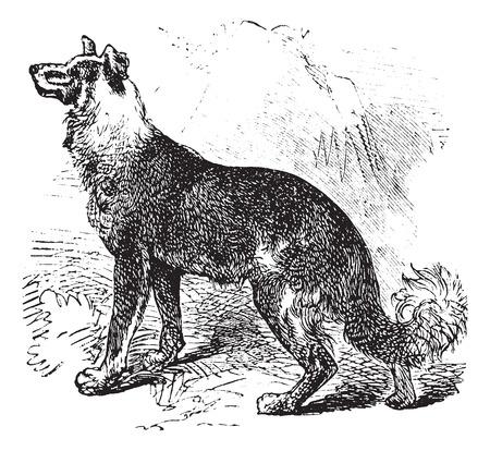 herding: Belgian Shepherd or Belgian Sheepdog or Canis lupus familiaris, vintage engraving. Old engraved illustration of a Belgian Shepherd.