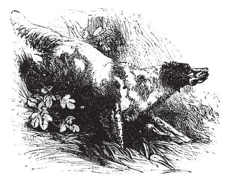 game gun: English Setter or Canis lupus familiaris, vintage engraving. Old engraved illustration of an English Setter. Illustration