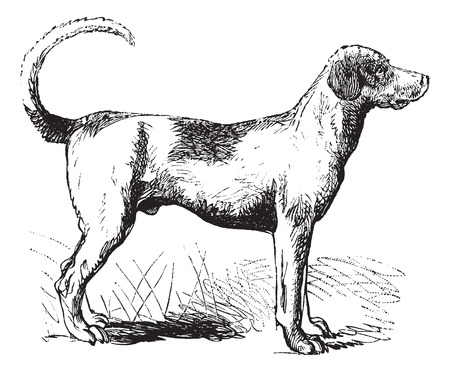 Foxhound or Canis lupus familiaris, vintage engraving. Old engraved illustration of a Foxhound. Vector