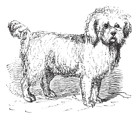 lupus: Barbet or Canis lupus familiaris, vintage engraving. Old engraved illustration of a Barbet.