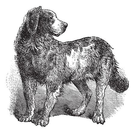 terranova: Newfoundland o Canis lupus familiaris, incisioni d'epoca. Old illustrazione incisa di un Terranova.
