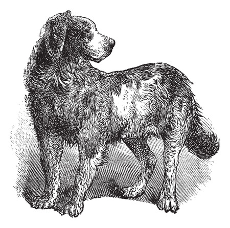 familiaris: Newfoundland or Canis lupus familiaris, vintage engraving. Old engraved illustration of a Newfoundland.