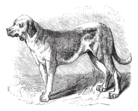 familiaris: Bloodhound or Saint Hubert Hound or Sleuth Hound or Canis lupus familiaris, vintage engraving. Old engraved illustration of Bloodhound.