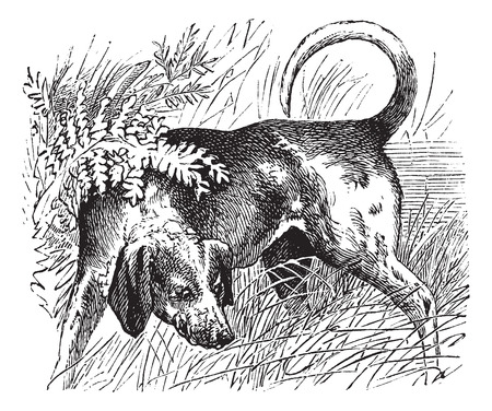 quarantine: Beagle or Canis lupus familiaris, vintage engraving. Old engraved illustration of a Beagle.