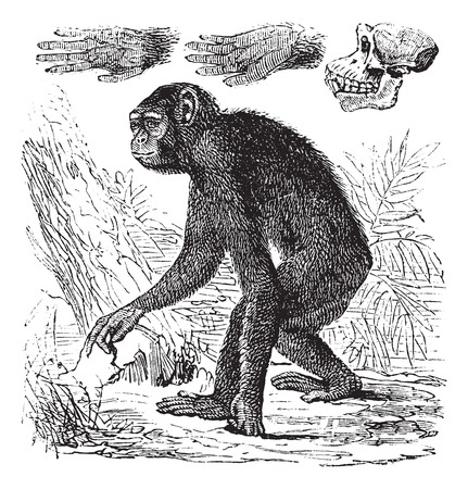 hominid: Chimpanzee or Pan troglodytes, vintage engraving. Old engraved illustration of a Chimpanzee.