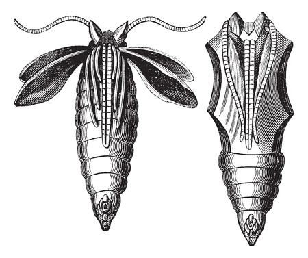 nympha: Chrysalide of a Moth, vintage engraving. Old engraved illustration of Chrysalide of a Moth.
