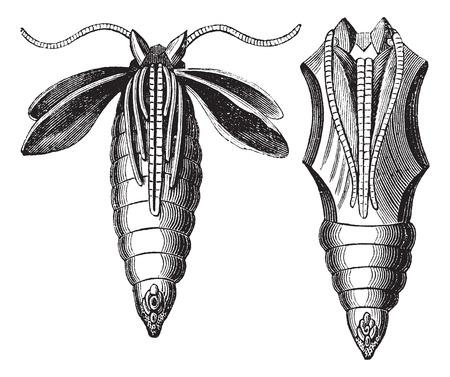 metamorphosis: Chrysalide of a Moth, vintage engraving. Old engraved illustration of Chrysalide of a Moth.