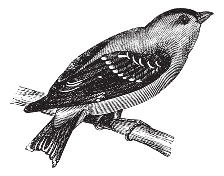migrate: Wild Canary or American Goldfinch or Eastern Goldfinch, vintage engraving. Old engraved illustration of a Wild Canary.