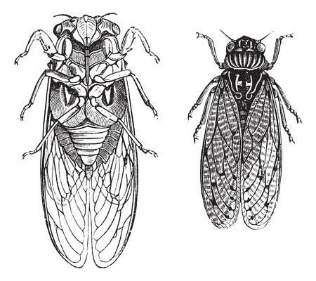 cigarra: Cicada o Cicadidae o Tettigarctidae, grabado de época. Ilustración del Antiguo grabado de las cigarras.