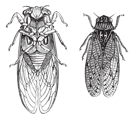dry flies: Cicada or Cicadidae or Tettigarctidae, vintage engraving. Old engraved illustration of Cicadas.